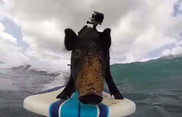 Το γουρούνι που κάνει σέρφινγκ (video)