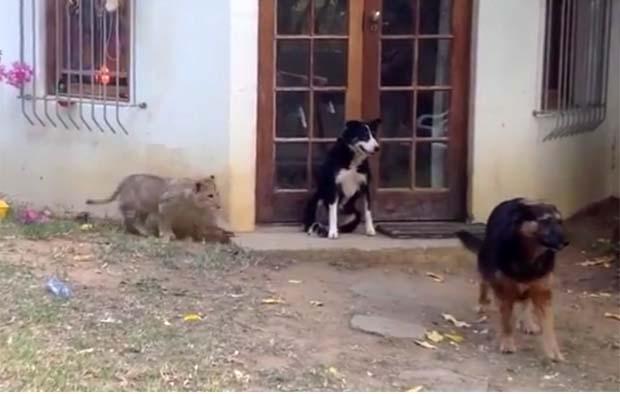 Λιονταράκι με άψογη τεχνική αιφνιδιάζει σκύλο! (video)