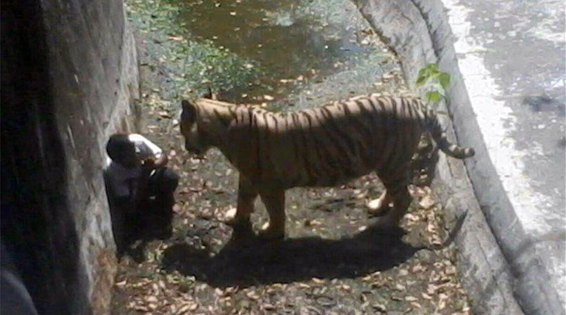 Δείτε το βίντεο της ινδικής τηλεόρασης με την τίγρη που κατασπάραξε 20χρονο