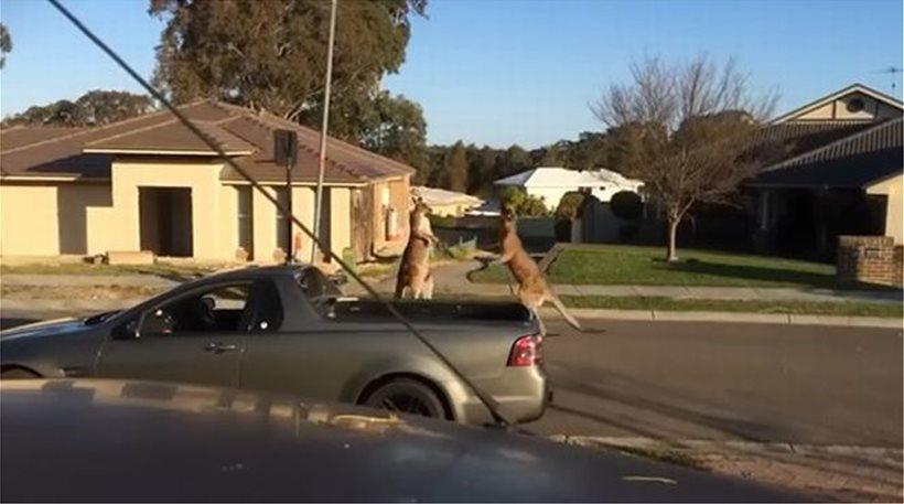 Απίστευτο βίντεο: Δύο καγκουρό παίζουν μποξ στη μέση του δρόμου!