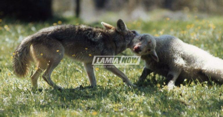 """Κτηνοτρόφος ήρθε τετ-α-τετ με τον λύκο που """"κατασπάραξε"""" τα πρόβατα του"""