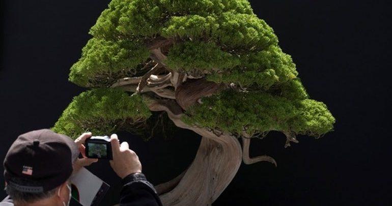 Ιαπωνία: Έκλεψαν μπονσάι 400 ετών!