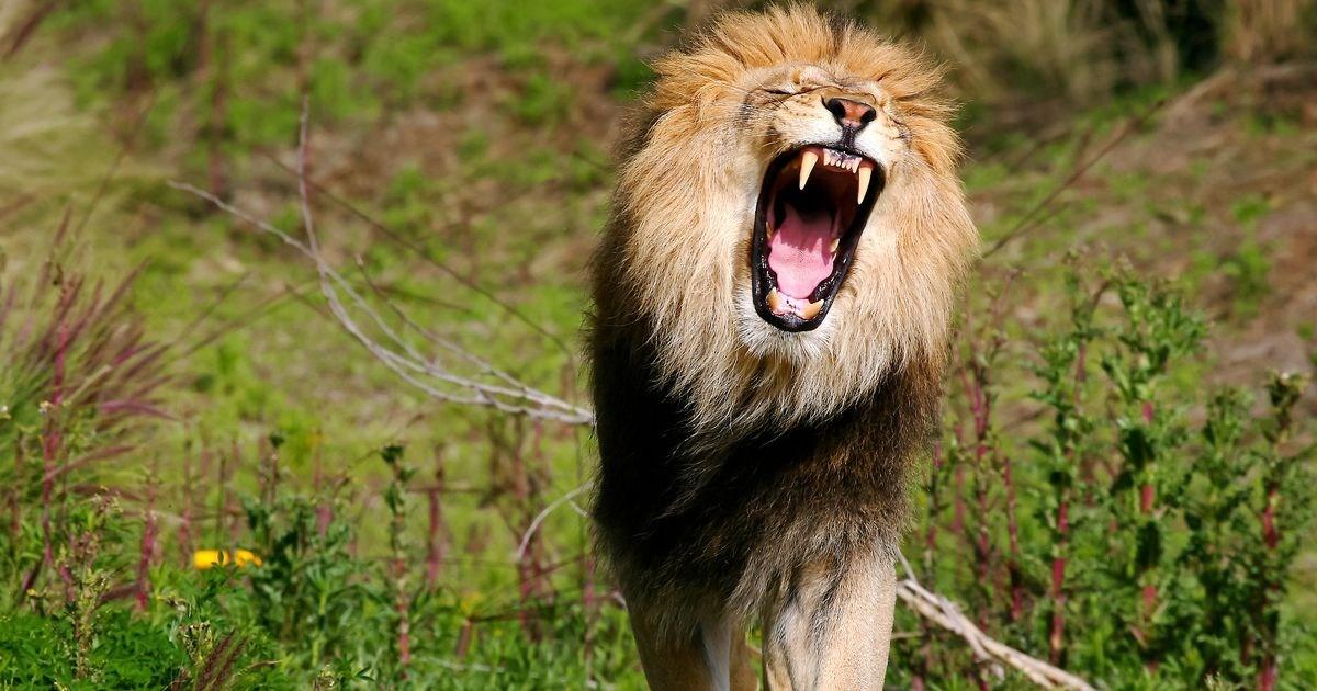 Λιοντάρια κατασπάραξαν λαθροθήρα – Είχε σκοτώσει τρεις οικογένειες μπαμπουίνων