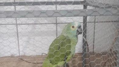 Βραζιλία: Συνελήφθη «μαφιόζος»... παπαγάλος αλλά κρατάει το ράμφος του κλειστό