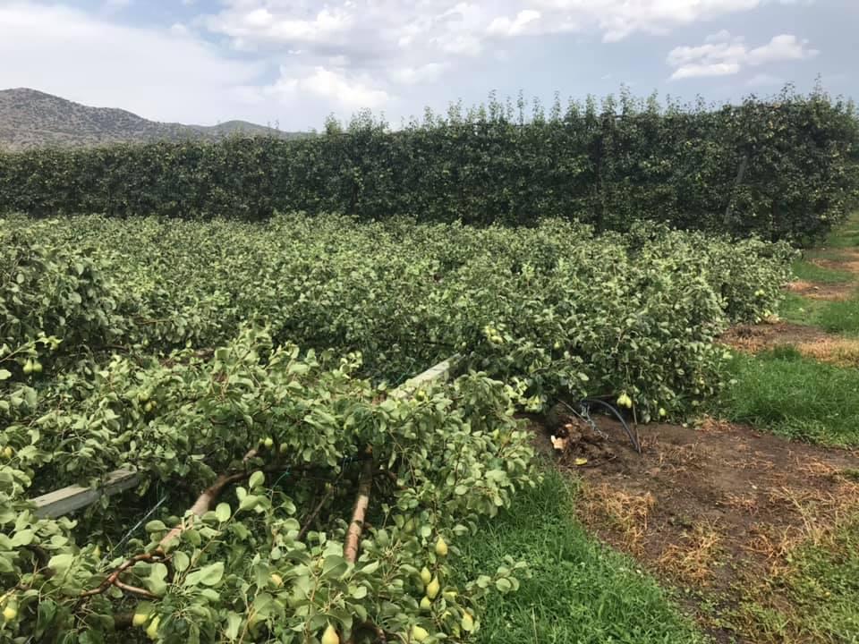 Σοκ και δέος για αγρότες του Τυρνάβου: Ξεριζώθηκαν κυριολεκτικά καλλιέργειες από την ανεμοθύελλα - Δείτε φωτογραφίες