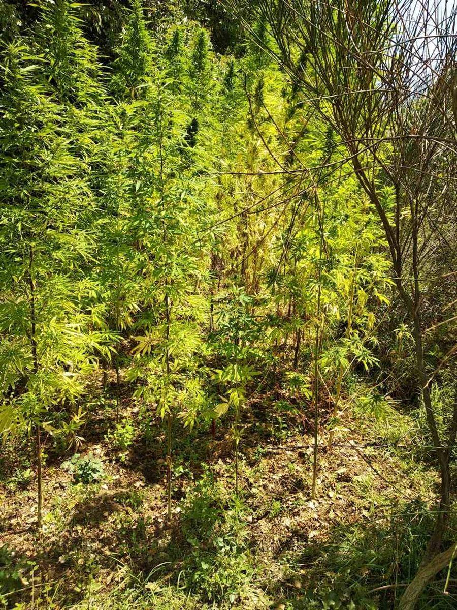 Ολόκληρο ...δάσος χασισόδεντρων εντόπισε η αστυνομία μετά από οργανωμένη επιχείρηση στην Αγιά (φωτο)