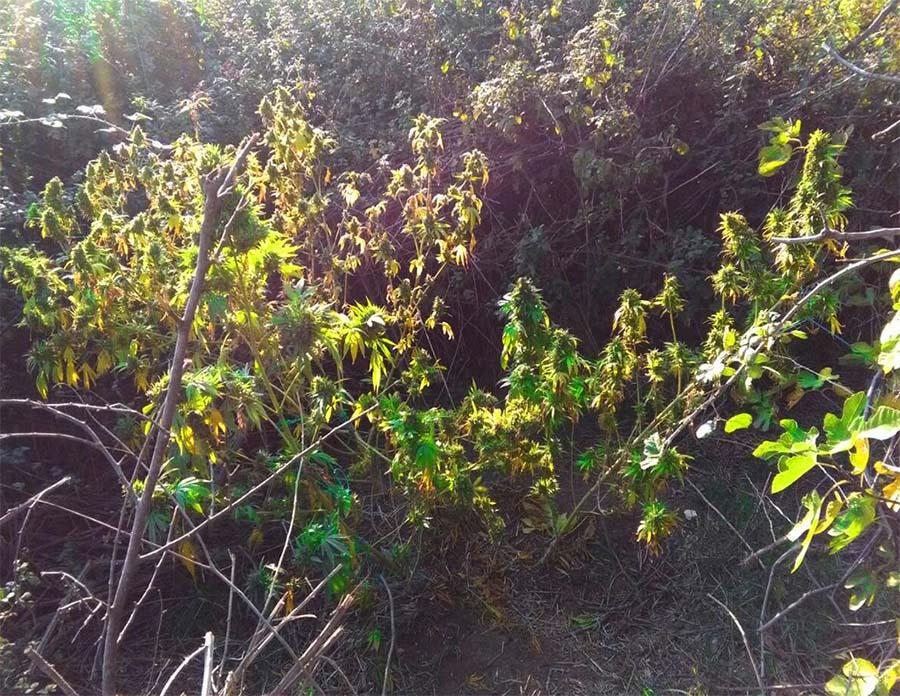 """Τέσσερα κιλά χασίς και έξι χασισόδεντρα """"έκαψαν"""" 36χρονο Λαρισαίο στην περιοχή της Ποταμιάς (φωτό)"""