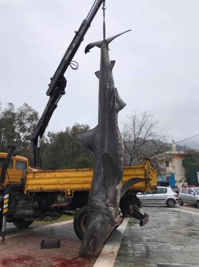 Αχίλλειο Αλμυρού: Ψάρεψε καρχαρία 7 μέτρων στον Παγασητικό (φωτο)
