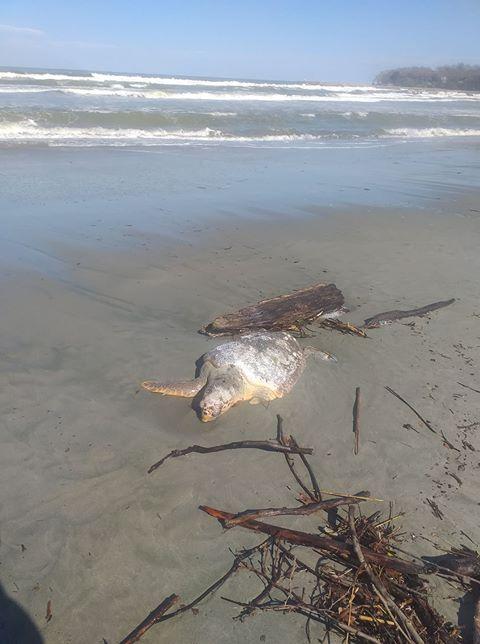 Θλιβερό θέαμα στο Στόμιο Λάρισας: Νεκρή «ξεβράστηκε» χελώνα καρέτα - καρέτα (φωτο)
